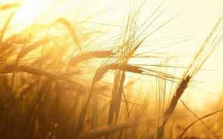 Пшениця — передпосівна обробка насіння для гарного врожаю, відео
