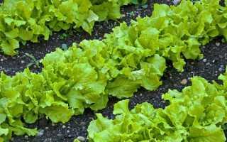 Посадка салату у відкритий грунт: вибір місця, посів, догляд, підживлення, відео