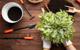 5 головних правил пересадки кімнатних рослин навесні. Час і спосіб пересадки, грунт, горщик, дренаж. фото