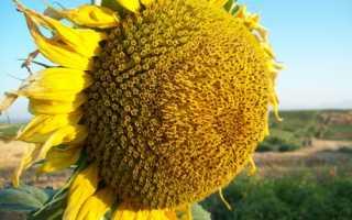 Соняшник Бузулук: опис сорту, вирощування, відео