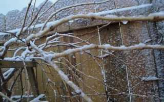 Кампсис: як правильно вкривати ліану на зиму, відео