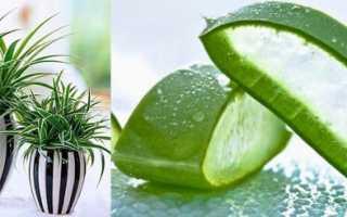 Корисні кімнатні рослини — хлорофітум, мирт, лавр, аспарагус, відео
