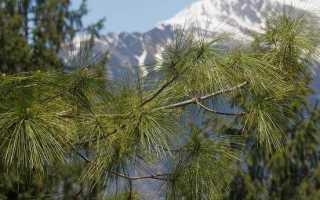 Сосна гімалайська дерево. Опис, особливості, види, посадка і догляд