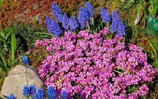 Арабіс квітка. Опис, особливості, види і догляд за Арабіс