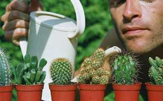 Кактуси — секрети догляду, пишне цвітіння, освітлення, полив, відео
