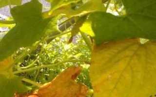 Чому жовтіє листя у огірків?