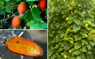 Тладіанта червоний огірок — вирощування в саду, відео