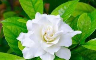 Гарденія квітка. Опис, особливості, догляд і ціна гарденії