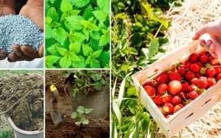 Підживлення полуниці восени: коли, як і чим удобрювати, відео