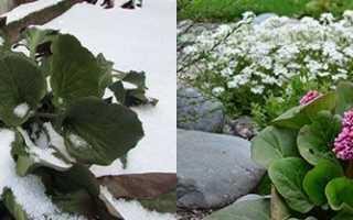 Бадан — прикраса клумби, стійкість до холодів, цвітіння, відео