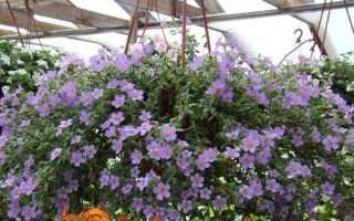 Бакопа — вирощування з насіння, коли садити на розсаду