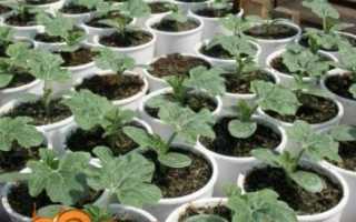 Вирощування кавунів у відкритому грунті — від насінини до стиглої ягоди!