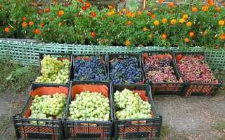 Фото і опис кращих сортів винограду на продаж + відео