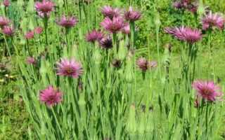 Вирощування вівсяного кореня. Козельці. Догляд, вирощування, розмноження. Декоративно-квітучі. Овочеві. Квіти. Фото.