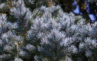 Як виростити блакитну ялину з насіння? Посадка, вирощування, розмноження. Майстер клас. фото