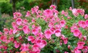 Диасция — вирощування з насіння, фото, розмноження. Посадка і догляд у відкритому грунті