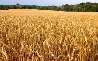 Озима пшениця — фази розвитку, технологія обробітку, листкове підживлення, відео