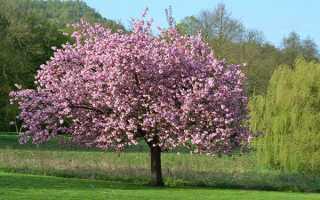 Вирощування магнолії в саду — як посадити і як доглядати, відео