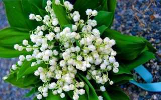 Конвалія квітка. Опис, особливості, догляд і вирощування конвалій