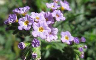 Геліотроп квітка — посадка і догляд у відкритому грунті, види і сорти, фото, відео