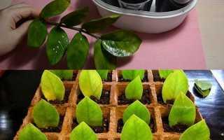 Розмноження заміокулькаса живцями або листовими пластинами, відео