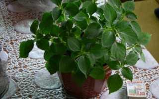 Чому не цвіте іван мокрий (бальзамін): причини проблеми, відео