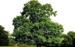 Карагач дерево. Опис, особливості, застосування і ціна карагача