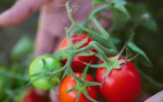 Низькорослі сорти помідорів для відкритого грунту з фото, описом — врожайні, нові, для Підмосков'я, в Україні, на Уралі, в Сибіру