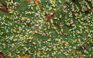Як позбутися від попелиці в городі назавжди: фото, відео, опис