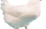 Курячі блохи: як позбутися, вибір кошти від курячих бліх