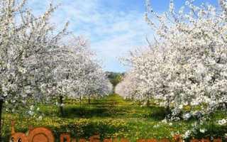 Обробка саду від шкідників і хвороб навесні. Яблуні та груші, виноград, смородина, аґрус, малина