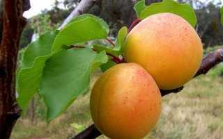Абрикос — сонячний фрукт. Вирощування. догляд