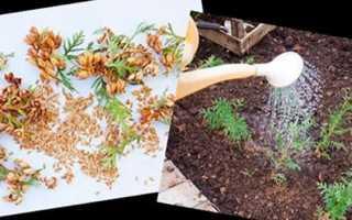 Вирощування туї з насіння в домашніх умовах, як проростити, відео