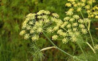 Фото хвороб кропу, способи боротьби з жовтими, червоними, чорними рослинами + відео