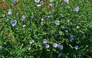 Як виглядає льон: опис рослини, цвітіння і плодоношення, відео