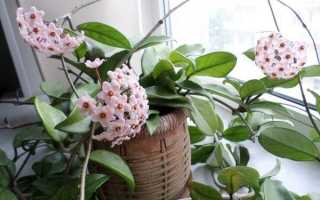 Як доглядати за Хойєю — створюємо умови для цвітіння, відео