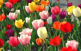 Сорти тюльпанів — фото з назвами махрових, піоновідние, голландських тюльпанів, відео