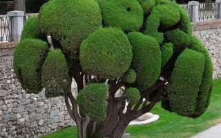 Види і сорти кипариса для саду — опис і фото, відео