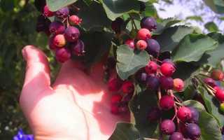 Корисна ягода в вашому саду — ірга, посадка і догляд, відео