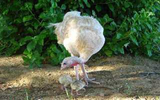 Годування індичат з першого дня — комбікорм, ніж годувати добових і 10 денних пташенят в домашніх умовах, відео
