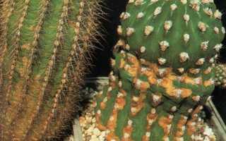 Плями на кактуси: причини їх появи, як допомогти квітці, відео