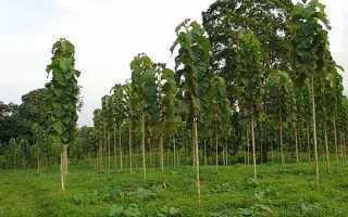 Дерево тика — лікувальні властивості, застосування в медицині і виробництві, відео