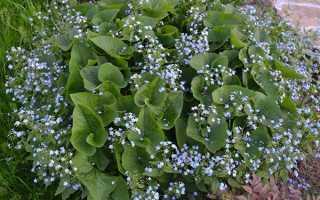 Посадка і догляд за Брунер в саду, зимостійкість рослини, відео