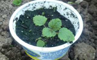 М'ята — тонкощі висіву насіння для отримання розсади, правила догляду, відео