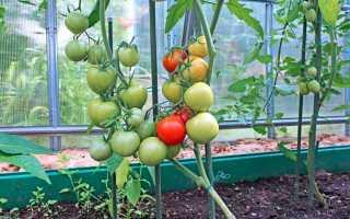 Підживлення помідорів в теплиці [інструкція] Вибираємо добрива