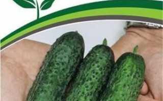 Огірок Бйорн F1: опис сорту, фото, рекомендації по вирощуванню