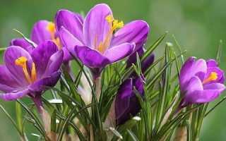 Крокус квітка. Вирощування крокусу. Догляд за крокусом