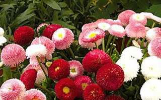Маргаритка — вирощування з насіння, коли садити на розсаду. Сорти з фото. Посадка і догляд