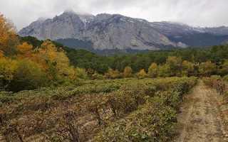 Зизифус унаби — вирощування і догляд в Криму, посадка, відео