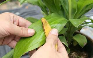 Добриво з бананової шкірки для кімнатних рослин